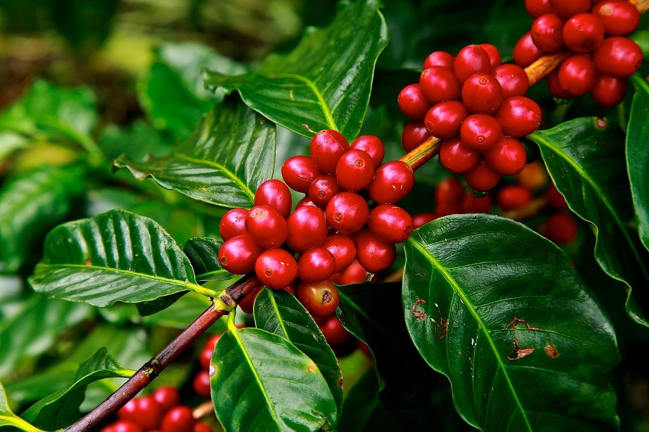 Путь растворимого кофе начинается с плантации